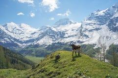 Jeune taureau dans les Alpes Photographie stock libre de droits