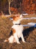 Jeune terrier de renard Images stock