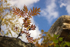 Jeune tige de sorbe avec des feuilles développées sur une roche contre le s bleu Photo stock