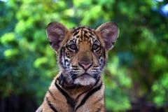 Jeune Tiger Cup Image stock