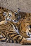 Jeune tigre adorable se reposant sur l'enfant de mêmes parents Image libre de droits