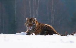 Jeune tigre sibérien ayant l'amusement avec le morceau de neige - altaica du Tigre de Panthera Image libre de droits