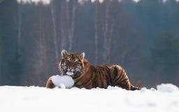 Jeune tigre sibérien ayant l'amusement avec le morceau de neige - altaica du Tigre de Panthera Image stock