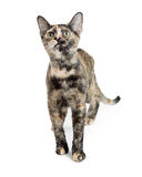 Jeune Tortie Kitty Standing Looking Up Images libres de droits