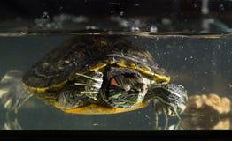 Jeune tortue Image stock