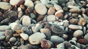 Jeune tortue de mer se trouvant sur des pierres de côte et recherchant l'eau banque de vidéos