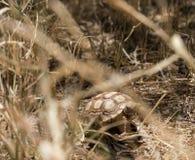 Jeune tortue de Sulcata Images libres de droits