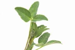 Jeune trèfle vert mince trifolié de pré avec des baisses de rosée Image stock