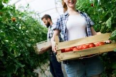 Jeune travailleuse de sourire d'agriculture moissonnant des tomates en serre chaude photos stock