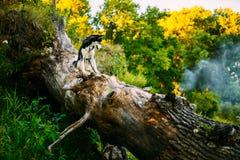 Jeune tronc heureux de Husky Eskimo Dog Sitting On d'A Images stock