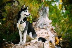 Jeune tronc heureux de Husky Eskimo Dog Sitting On d'A Photo stock