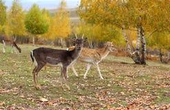 Jeune type de cerfs communs affrichés Image libre de droits