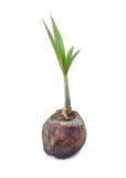 Jeune usine d'arbre de noix de coco image libre de droits
