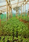 Jeune usine de chrysanthème de graine à l'intérieur de serre chaude images libres de droits