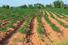 Jeune usine de manioc Photographie stock libre de droits