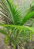 Jeune usine de noix de coco image libre de droits