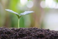 jeune usine ou jeune plante verte sur le sol dans le potager Images libres de droits
