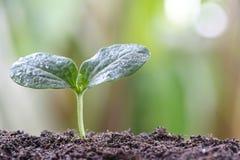 jeune usine ou jeune plante verte sur le sol dans le potager Image stock