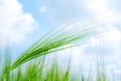 Jeune végétation sur une zone de maïs Image stock