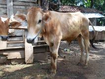 Jeune vache à la cage 2 Photographie stock