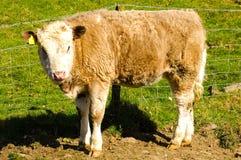 Jeune vache Photographie stock
