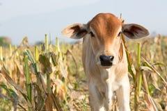 Jeune vache Photos libres de droits