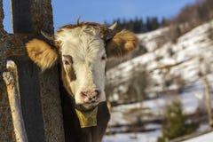 Jeune vache avec la cloche Photographie stock