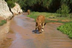 Jeune vache buvant des fées d'un courant à proximité de Mui Ne Images stock