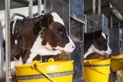 Jeune vache dans une écurie photos stock
