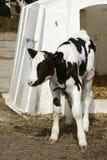 Jeune vache laitière par l'abri Image stock