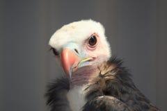Jeune vautour image stock