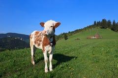 Jeune veau Image stock