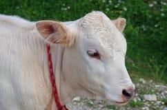Jeune veau blanc photos stock