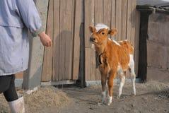 Jeune veau brun à une ferme Photo libre de droits