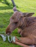 Jeune veau d'orignaux alimentant sur une branche Photo libre de droits