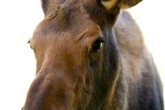 Jeune veau d'orignaux dans les territoires de Yukon, Canada Photo stock