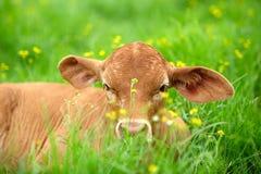 Jeune veau dans l'herbe Image libre de droits