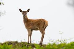 Jeune veau de cerfs communs rouges se tenant sur la colline Photographie stock libre de droits