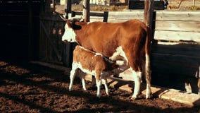 Jeune veau suçant la mamelle de vache pendant la promenade à la ferme rurale Élevage à la ferme banque de vidéos