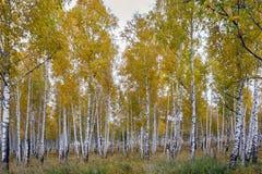 Jeune verger de bouleau d'automne d'or Images stock