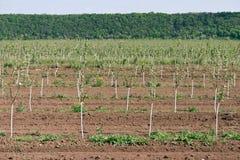 Jeune verger Rangée des arbres fruitiers Élevage de fruit Image libre de droits