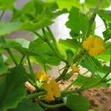 Jeune, vert concombre Photos stock
