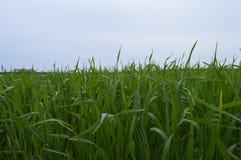 Jeune, vert maïs Images libres de droits