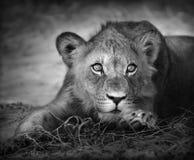 Jeune verticale de lion Photo libre de droits