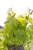 Jeune vigne Photo stock