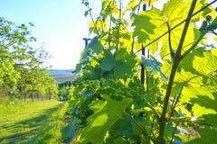 Jeune vigne dans le wineyard Plan rapproché de vigne photos libres de droits