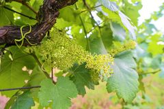 Jeune vigne dans le wineyard Plan rapproché de vigne Wineyard au ressort Fusée de Sun Horizontal de vigne Rangées de vignoble à photo libre de droits