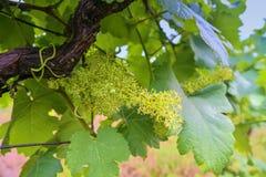 Jeune vigne dans le wineyard Plan rapproché de vigne Wineyard au ressort Fusée de Sun Horizontal de vigne Rangées de vignoble à images stock