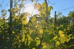Jeune vigne dans le wineyard Plan rapproché de vigne Wineyard au ressort Fusée de Sun Horizontal de vigne Le vignoble rame a images libres de droits