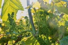 Jeune vigne dans le wineyard Plan rapproché de vigne Wineyard au ressort Fusée de Sun Horizontal de vigne Le vignoble rame a image stock